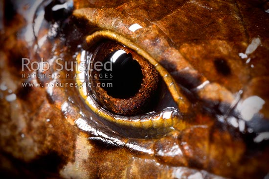 McGregor's skink close up of eye and face scale detail (Oligosoma macgregori, Scincidae). Known as: Macgregor's skink, Cyclodina macgregori. Very rare NZ endemic endangered species, Mana Island, New Zealand (NZ) stock photo.