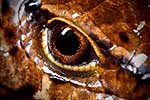 Closeup of McGregor's skink eye