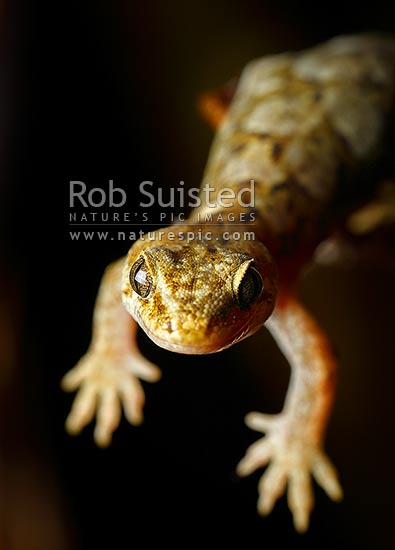 Raukawa Gecko, Common Gecko hanging off branch while hunting at night (Woodworthia maculata, Syn. Hoplodactylus maculatus), Mana Island, New Zealand (NZ) stock photo.