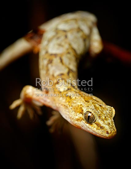 Raukawa, or Common Gecko hanging off branch while hunting at night (Woodworthia maculata, Syn. Hoplodactylus maculatus, Gekkonidae), Mana Island, New Zealand (NZ) stock photo.
