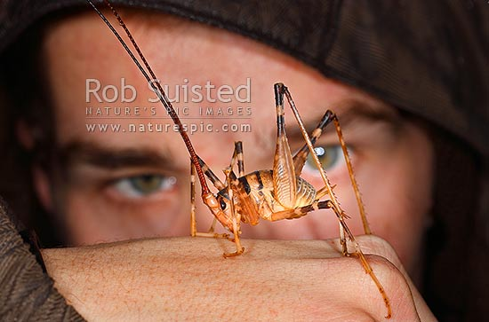 Large Cave Weta and human face (Gymnoplectron species, Rhaphidophoridae), Mana Island, New Zealand (NZ) stock photo.
