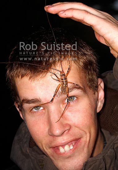 Large Cave Weta climbing on human face (Gymnoplectron species, Rhaphidophoridae), SpidermanBryce, Mana Island, New Zealand (NZ) stock photo.