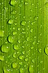Raindrops of fresh green flax leaf