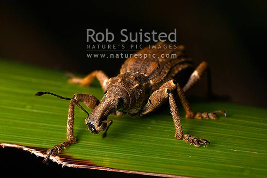 Giant Flax Weevil (Anagotus fairburni), rare threatened NZ endemic insect species, Mana Island, New Zealand (NZ) stock photo.