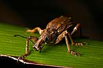 Rare NZ Giant Flax Weevil