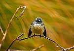 Native fantail perched on branch
