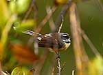 Native fantail perched on tree