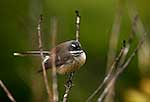 Native fantail resting on bush