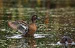 Endangered Brown Teal