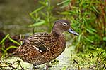 Native NZ Brown Teal