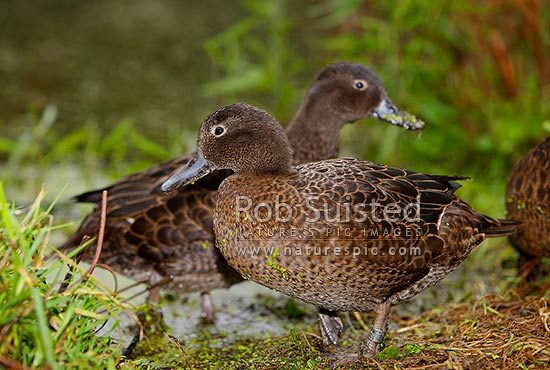Brown teal or Pateke, endangered NZ endemic waterfowl, (Anas chlorotis), pair of birds. NZ native species, Mana Island, New Zealand (NZ) stock photo.