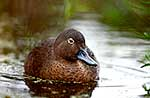 Brown Teal or Pateke