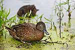 Native Brown Teal