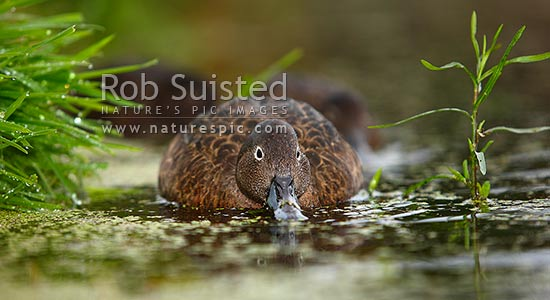 Brown teal or Pateke, endangered NZ endemic waterfowl, (Anas chlorotis), Mana Island, New Zealand (NZ) stock photo.