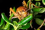 Endangered Cook Strait Giant Weta