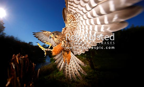 New Zealand Falcon (Falco novaeseelandiae; Falconidae) flying and landing at high speed. Karearea. NZ Native threatened bird species, New Zealand (NZ).