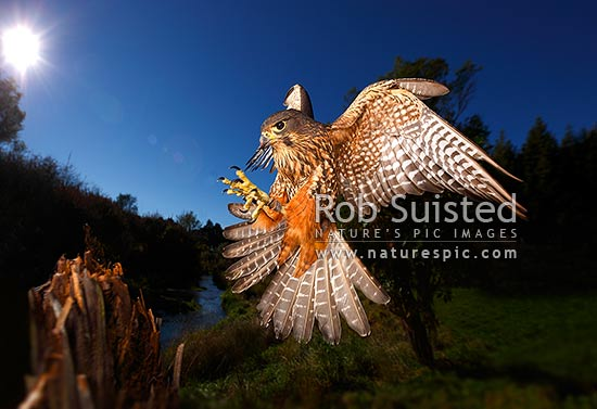 New Zealand Falcon (Falco novaeseelandiae; Falconidae) flying and landing at high speed. Karearea. NZ Native threatened bird species, New Zealand (NZ) stock photo.