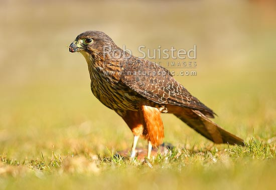 New Zealand Falcon (Falco novaeseelandiae; Falconidae), Karearea. NZ Native threatened bird species, New Zealand (NZ) stock photo.