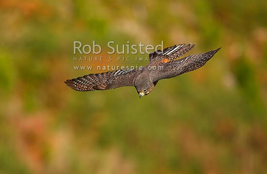 New Zealand Falcon flying, in dive (Falco novaeseelandiae; Falconidae), Karearea. NZ Native threatened bird species, New Zealand (NZ) stock photo.
