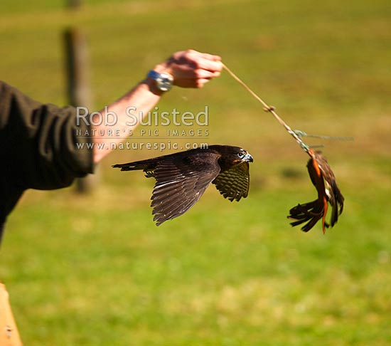 New Zealand Falcon being trained by falconer on a lure (Falco novaeseelandiae; Falconidae), Karearea. NZ Native threatened bird species, New Zealand (NZ) stock photo.