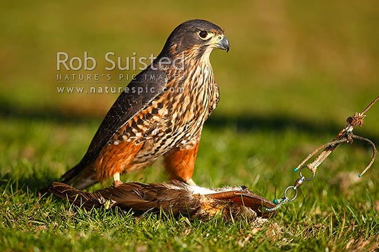 New Zealand Falcon being trained by falconer, with a lure it has captured (Falco novaeseelandiae; Falconidae), Karearea. NZ Native threatened bird species, New Zealand (NZ) stock photo.