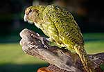 Taxidermied Kakapo