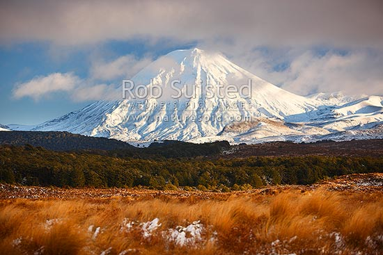 Mount Ngauruhoe (2287m) with snow covered Rangipo desert and volcanic plateau. Red tussock (Chionochloa rubra) in foreground, Tongariro National Park, Taupo District, Waikato Region, New Zealand (NZ) stock photo.