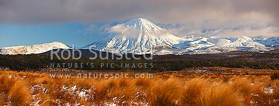Mount Ngauruhoe (2287m) and Mt Tongariro (1967m, right), with snow covered Rangipo desert and volcanic plateau. Red tussock (Chionochloa rubra) in foreground. Panorama, Tongariro National Park, Taupo District, Waikato Region, New Zealand (NZ) stock photo.