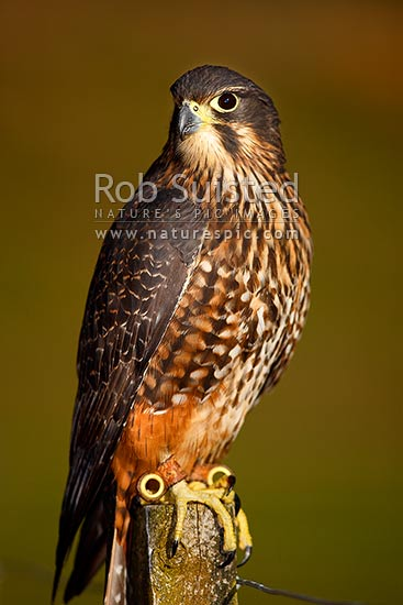 New Zealand Falcon on fence post (Falco novaeseelandiae; Falconidae), Karearea. NZ Native threatened bird species, New Zealand (NZ) stock photo.