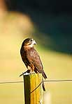 Native NZ Falcon