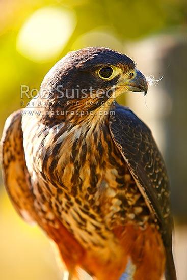 New Zealand Falcon Falco Novaeseelandiae Falconidae