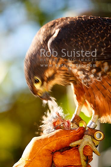 New Zealand Falcon on falconer's glove feeding (Falco novaeseelandiae; Falconidae), Karearea. NZ Native threatened bird species, New Zealand (NZ) stock photo.