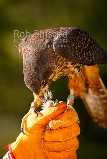 New Zealand Falcon on falconer's glove (Falco novaeseelandiae; Falconidae), Karearea. NZ Native threatened bird species, New Zealand (NZ) stock photo.