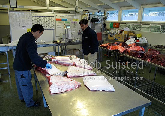 North Atlantic Minke Whale blubber and skin for sale in market as muktuk or maktaaq (Balaenoptera acutorostrata), showing throat pleats. Whale meat behind, Maniitsoq, Greenland stock photo.