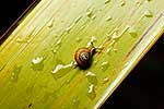 Native NZ snail on flax leaf