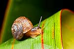 Native NZ snail on flax