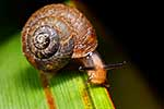 NZ native snail on flax leaf