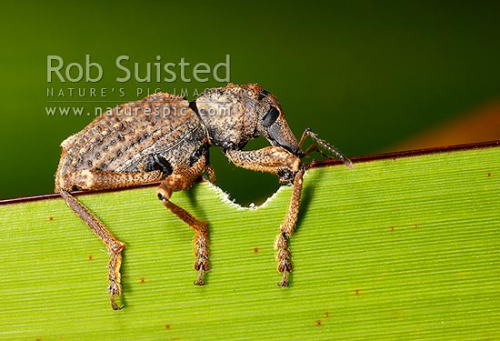 Giant Flax Weevil (Anagotus fairburni) feeding on flax leaf (phormium sp.) at night. Rare threatened NZ endemic insect species, Mana Island, New Zealand (NZ) stock photo.