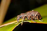 Native Giant Flax Weevil