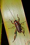 Possibly new species of Giant Weta