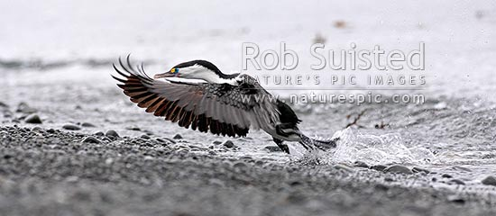 Pied shag landing on beach with wings out (Phalacrocorax varius; Phalacrocoracidae) Karuhiruhi, Pied cormorant or yellow-faced cormorant. NZ native species, Mana Island, New Zealand (NZ) stock photo.