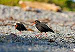 Variable Oystercatcher pair
