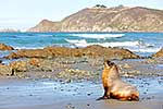 NZ Sea lion juvenile on beach