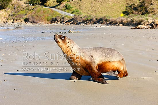 New Zealand Sea lion sub adult male on beach (Phocartos hookeri); Hooker's Sea lion juvenile, Nugget Point, Clutha District, Otago Region, New Zealand (NZ) stock photo.