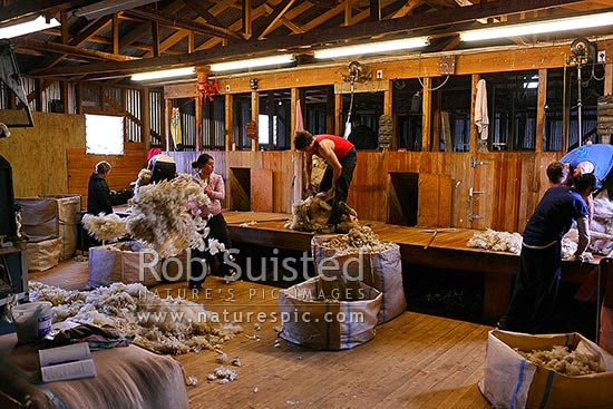 Sheep shearing. Shearing gang of shearers and wool handlers (rousies) working in a typical NZ shearing shed, Catlins, Clutha District, Otago Region, New Zealand (NZ) stock photo.