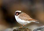 Endagered NZ Shore Plover