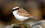 Endangered NZ Shore Plover