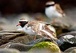 Endangered Shore Plovers