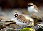 Endangered NZ Shore Plovers