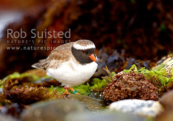New Zealand Shore Plover hunting amongst rockpools and waters edge (Thinornis novaeseelandiae) male, endangered native shorebird. Tuturuatu, Mana Island, New Zealand (NZ) stock photo.